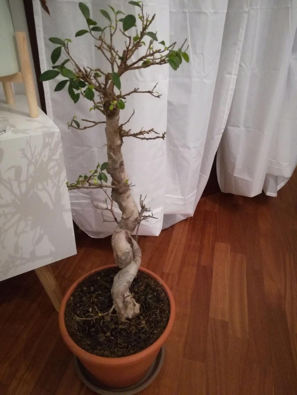 Ficus Ginseng grande - foliazione molto faticosa e filetti bianchi Nj-esg10