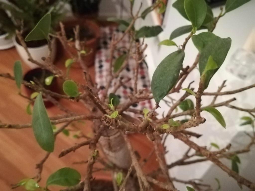 Ficus Ginseng grande - foliazione molto faticosa e filetti bianchi O8hbba10