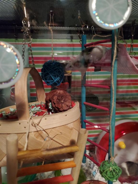 Christmas cage/tank!!! 20201210