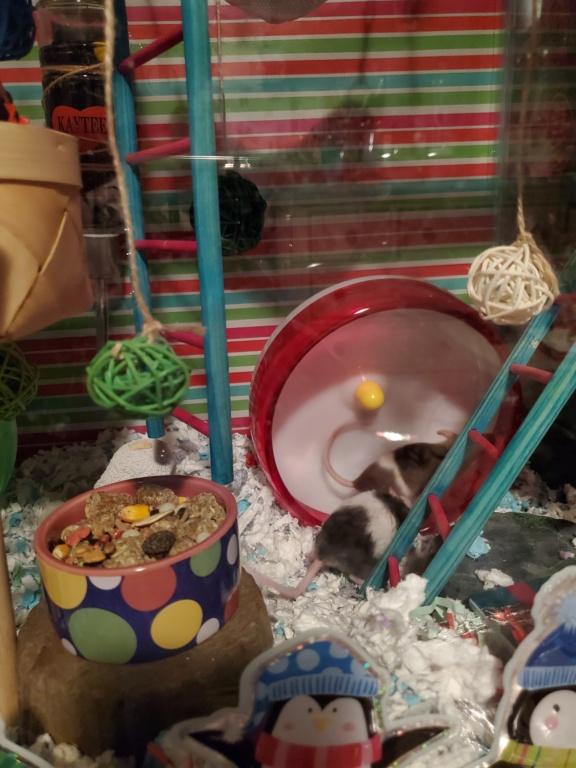 Christmas cage/tank!!! 20201211