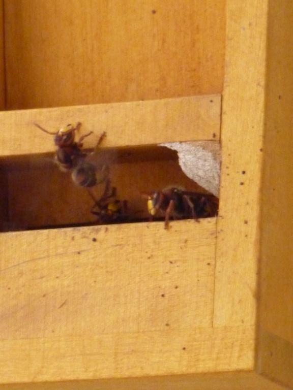 déplacer un nid ou attendre son déménagement P1060010