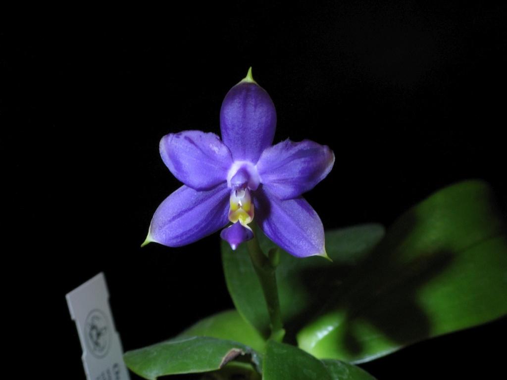 Phalaenopsis violacea - Seite 13 Img_0211