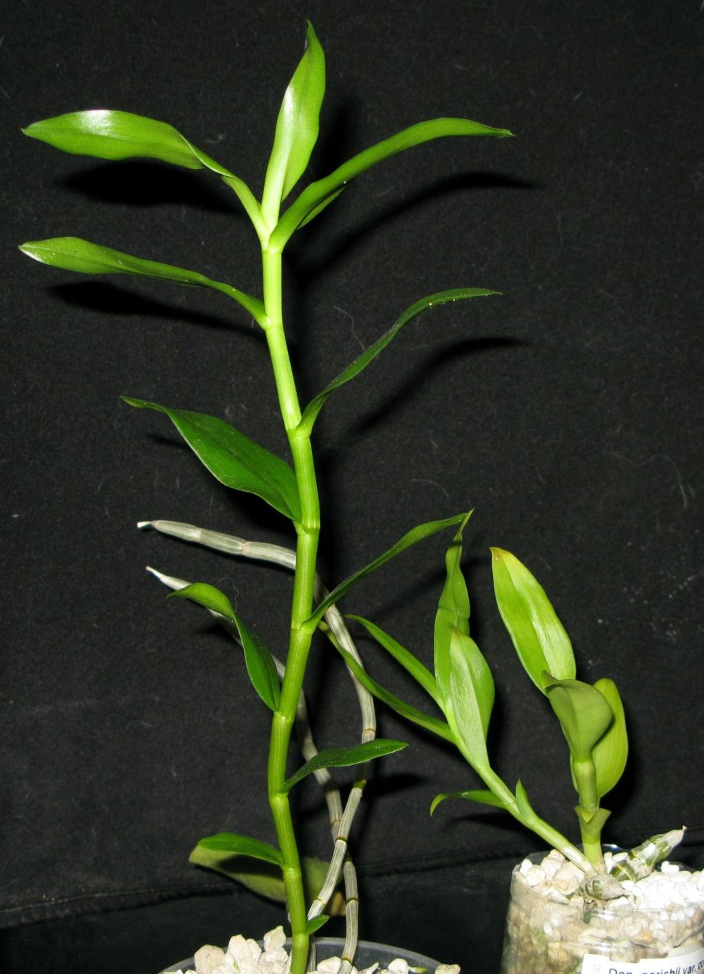 Dendrobium anosmum  Img_0314