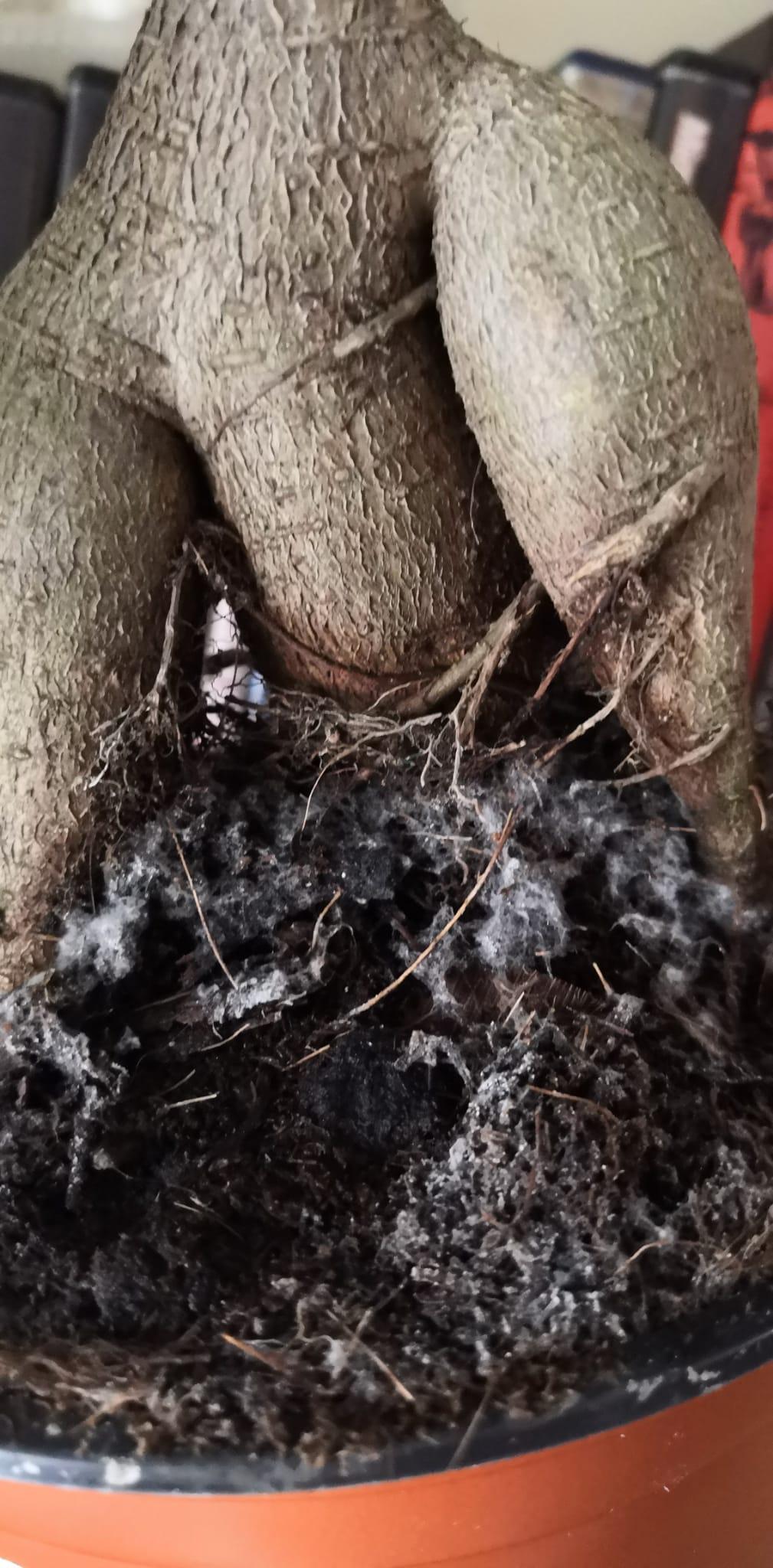 Hongos en Ficus Ginseng 470d1e11