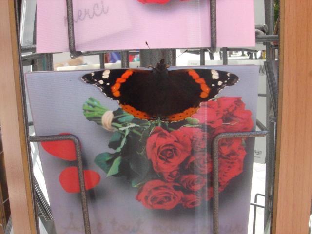Papillons Dsc03515