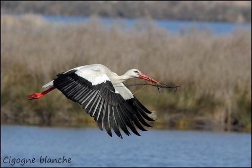 Réserve Ornithologique du Teich Cigogn11