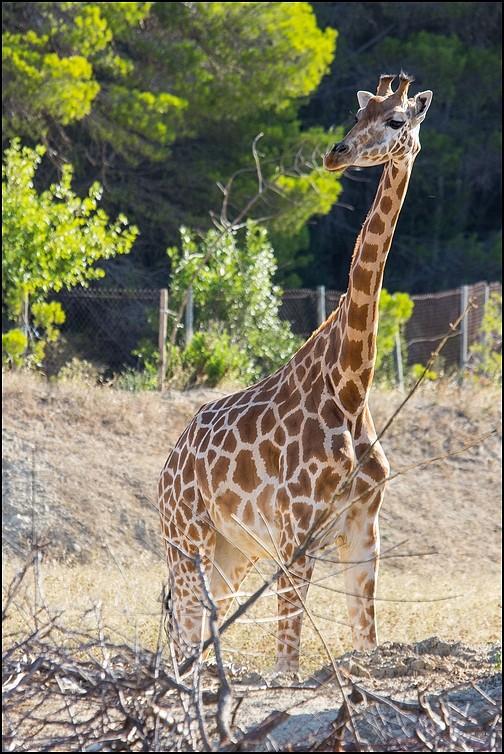 Réserve Africaine de Sigean Girafe10