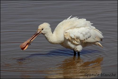 Réserve Ornithologique du Teich Spatul11