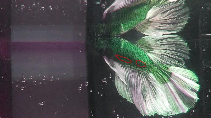 Wasabi le HM vert Wasabi10
