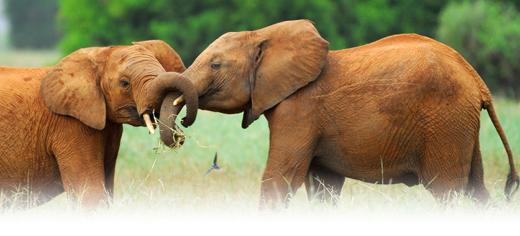 De l'aide pour les éléphants Elapha10