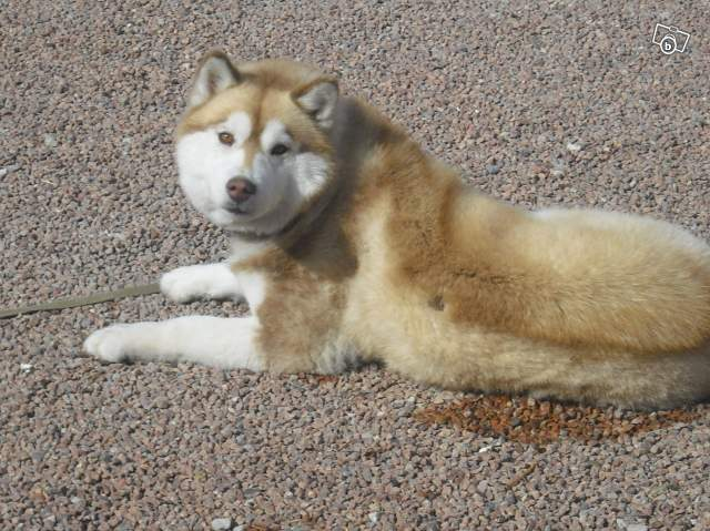 Perdu Femelle husky rousse Femell11