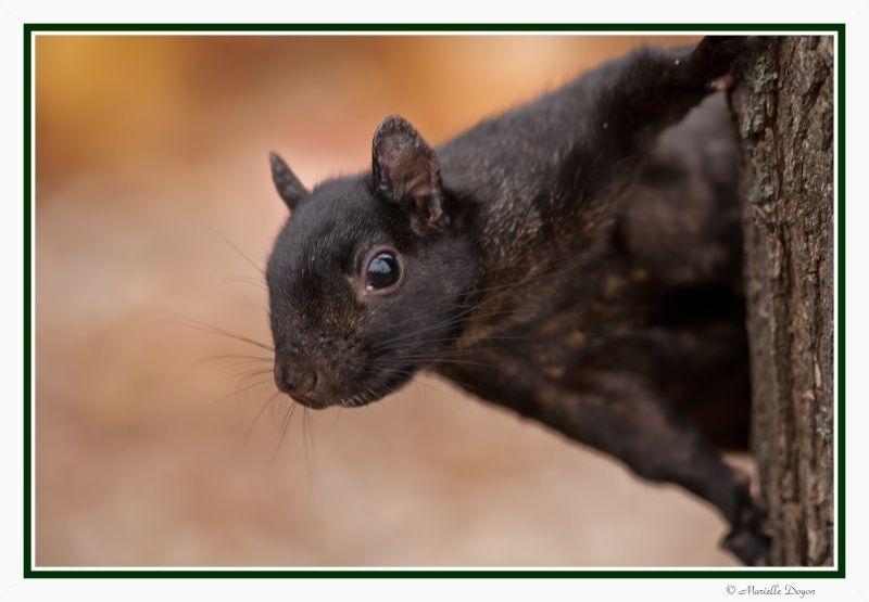 Écureuil noir  Img_3813