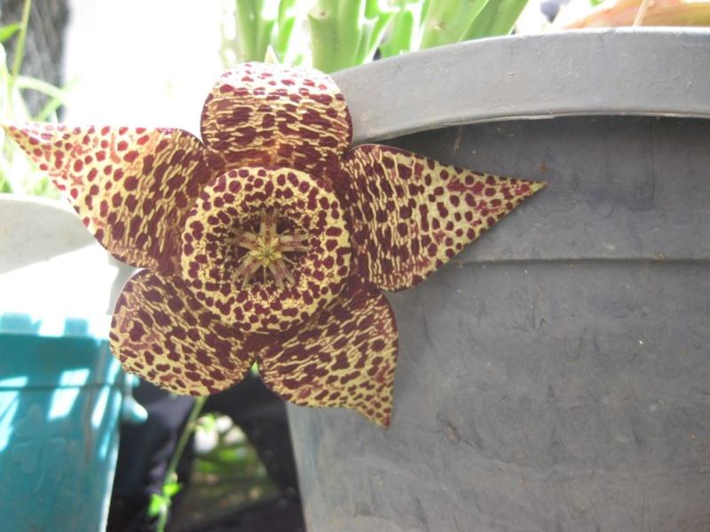 orbea variegata peu etre  Dom_0012