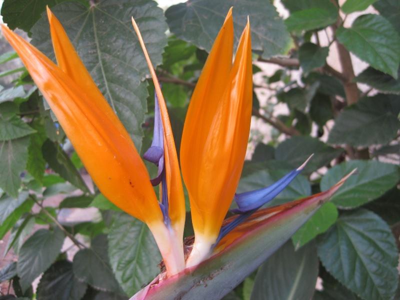 Bonne surprise, la toute première fleur de Strelitzia reginae Zak_il10