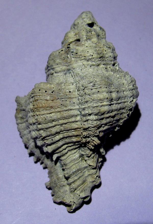 Hadriana truncatula Hadri_10