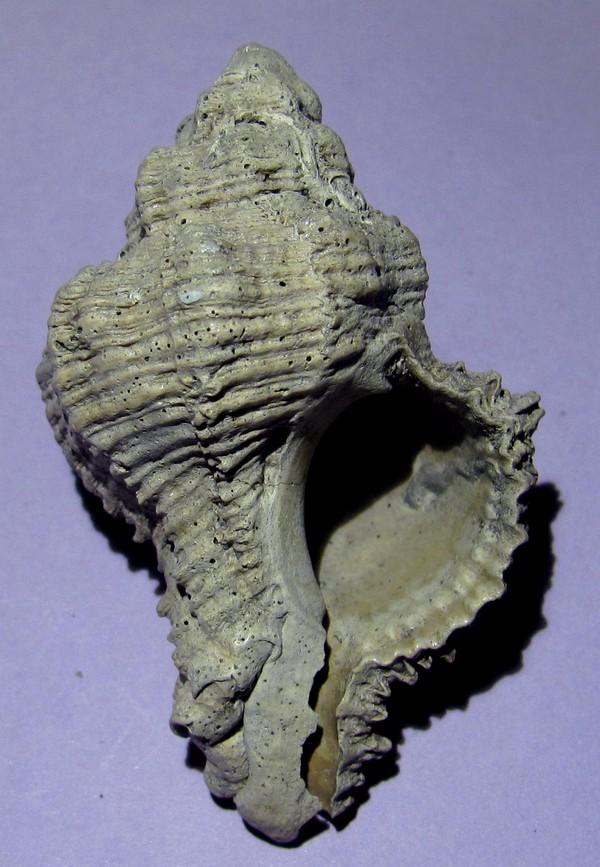 Hadriana truncatula Hadri_11
