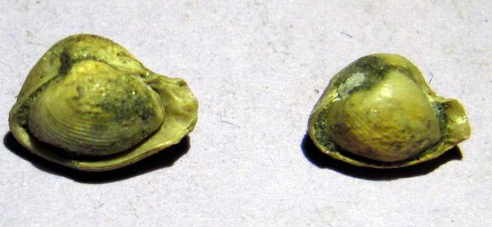 Curieux bivalves du crétacé supérieur audois Img_0015