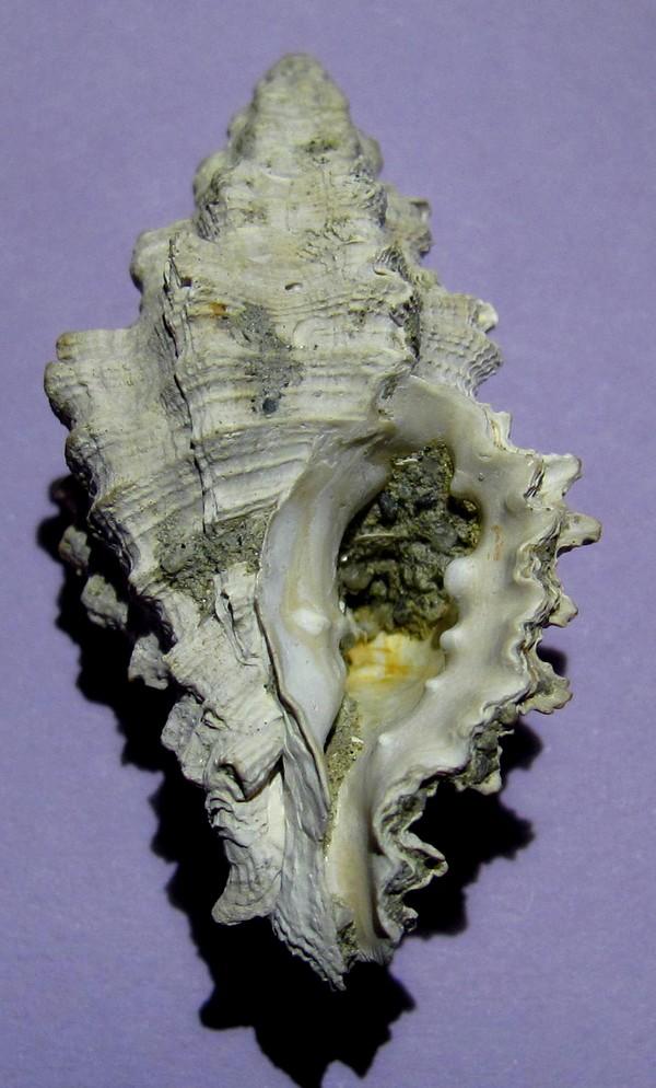 Muricopsis cristata Muri_210