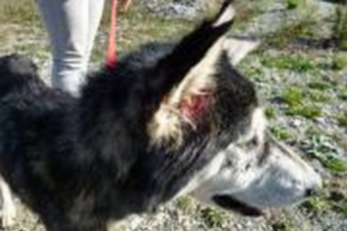 Leif, Husky mâle 4 ans URGENT REFU05 180x1210