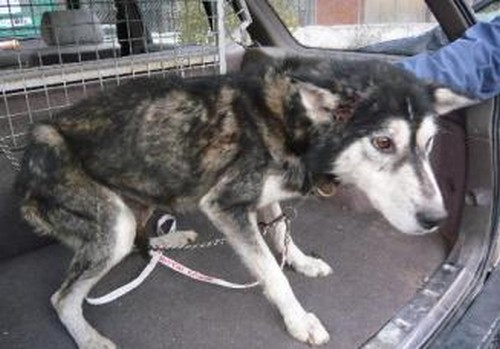 Leif, Husky mâle 4 ans URGENT REFU05 327x2210