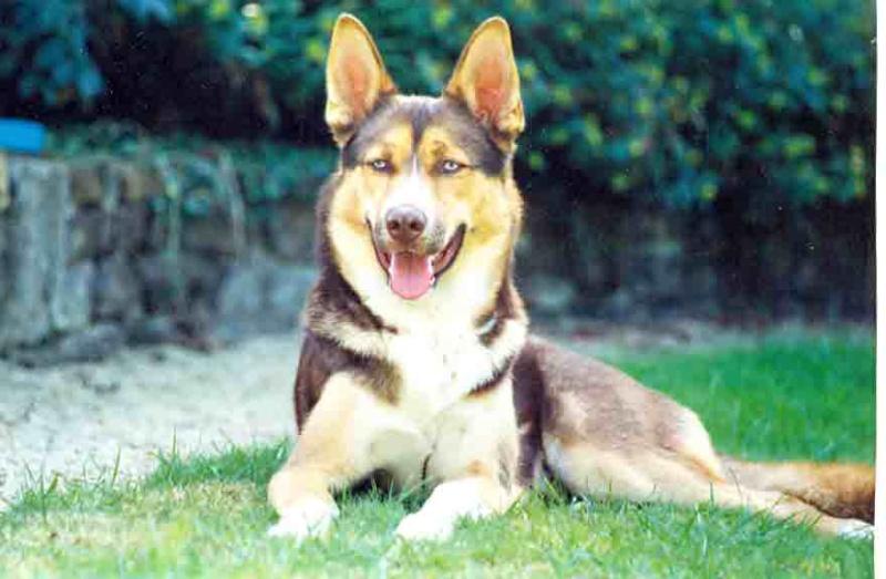 Nolan adorable croisé husky de 13ans dans le Loiret (45) decedé Nolan110