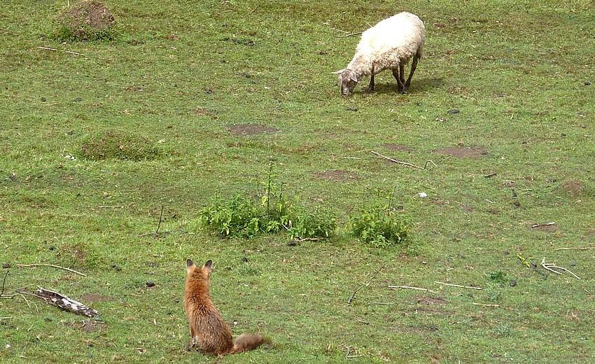 Visite d'une renarde et de ses 2 petits. 00913