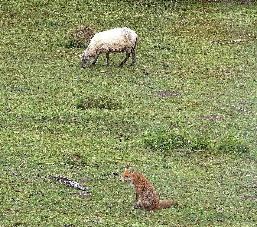 Visite d'une renarde et de ses 2 petits. 01315