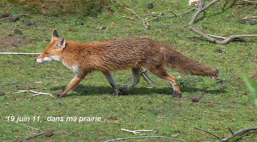 Visite d'une renarde et de ses 2 petits. 02012