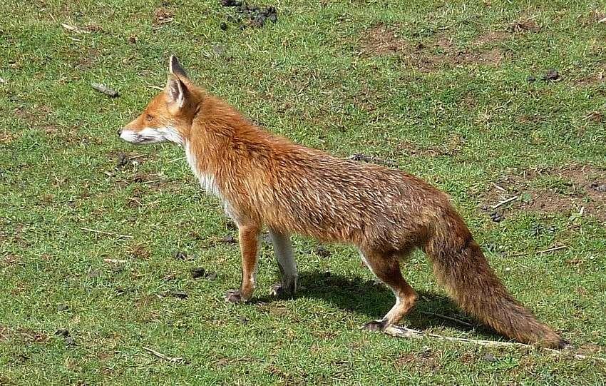 Visite d'une renarde et de ses 2 petits. 02213