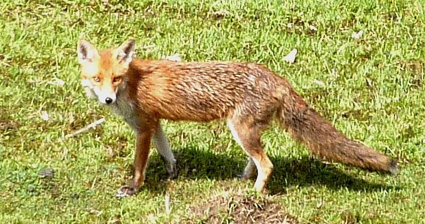 Visite d'une renarde et de ses 2 petits. 02310