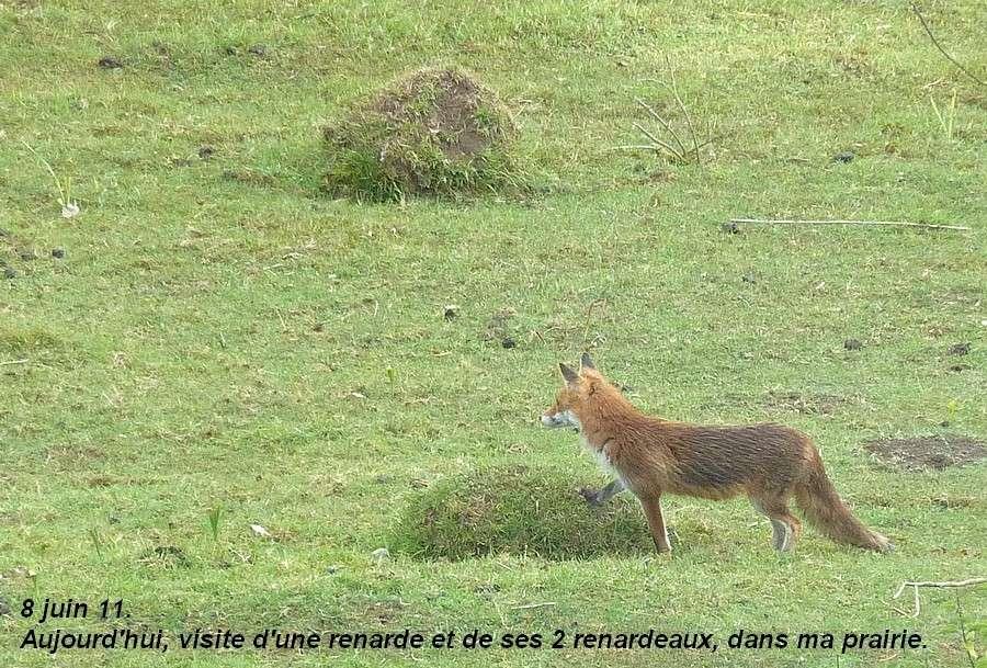 Visite d'une renarde et de ses 2 petits. A14