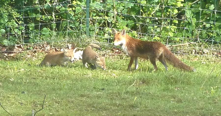 Visite d'une renarde et de ses 2 petits. A16