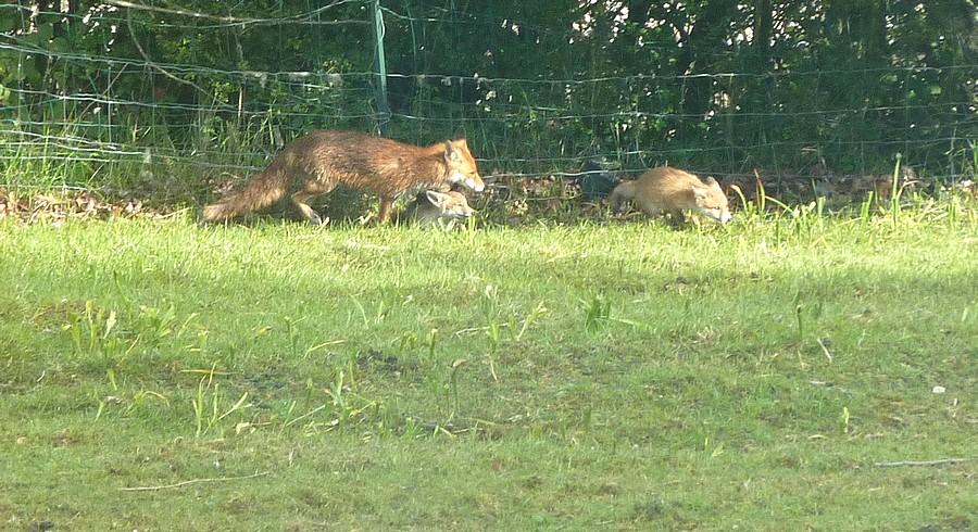 Visite d'une renarde et de ses 2 petits. A17