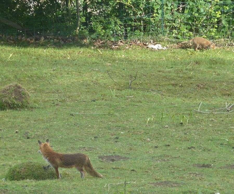 Visite d'une renarde et de ses 2 petits. B12