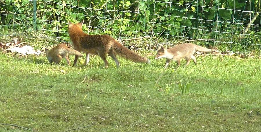 Visite d'une renarde et de ses 2 petits. B13