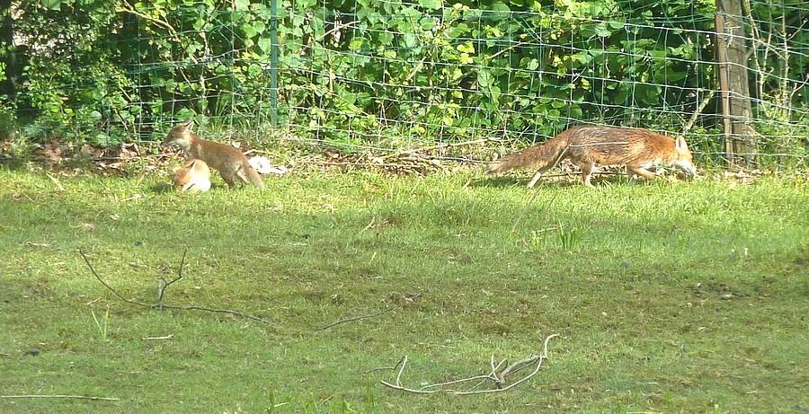Visite d'une renarde et de ses 2 petits. B14
