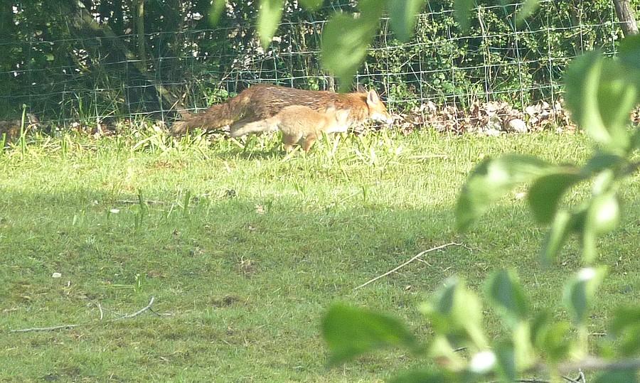 Visite d'une renarde et de ses 2 petits. B15