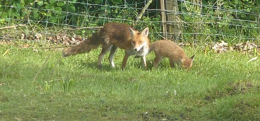Visite d'une renarde et de ses 2 petits. Bis10