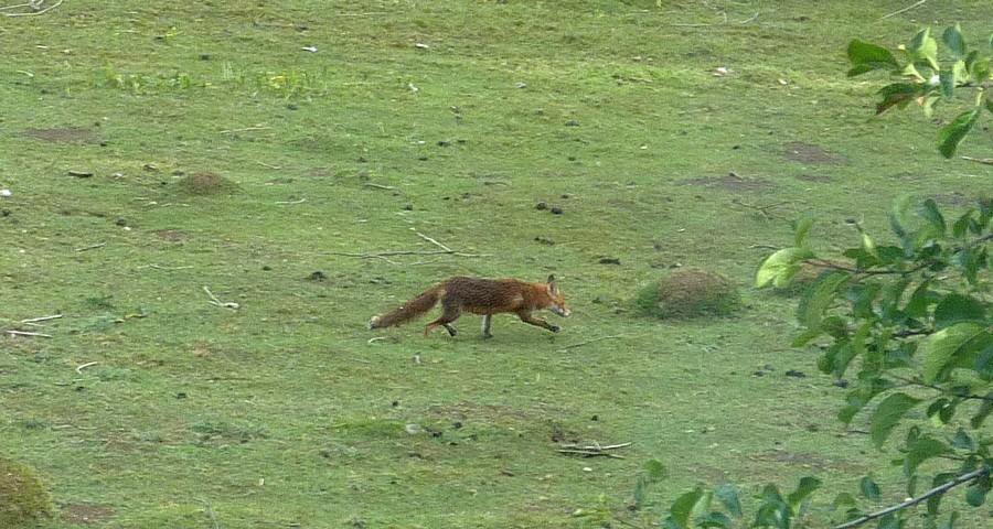 Visite d'une renarde et de ses 2 petits. C13