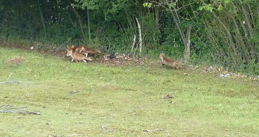 Visite d'une renarde et de ses 2 petits. C14