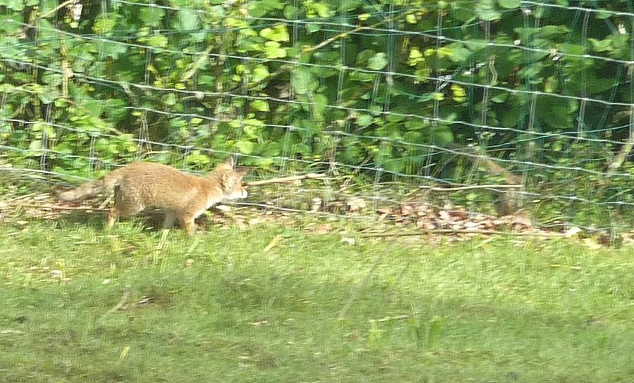 Visite d'une renarde et de ses 2 petits. D12