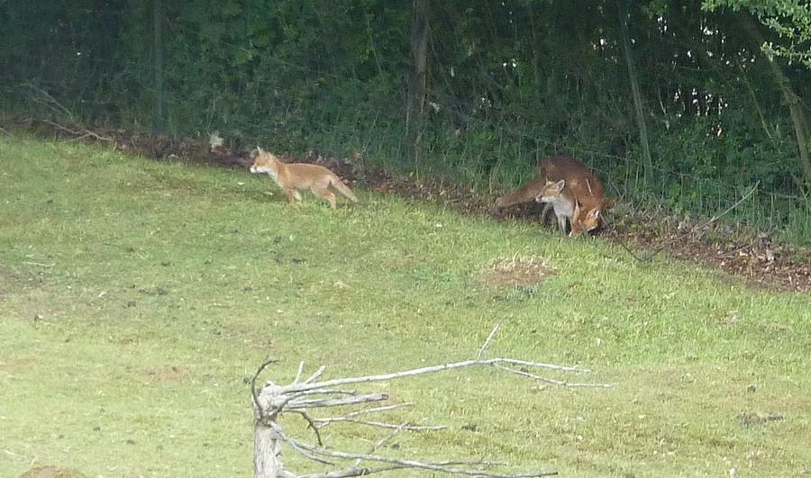 Visite d'une renarde et de ses 2 petits. D13