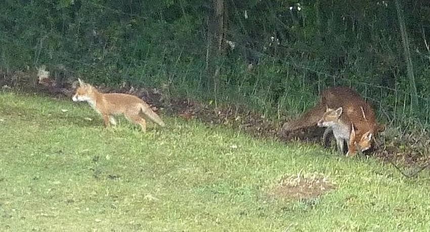 Visite d'une renarde et de ses 2 petits. D1310