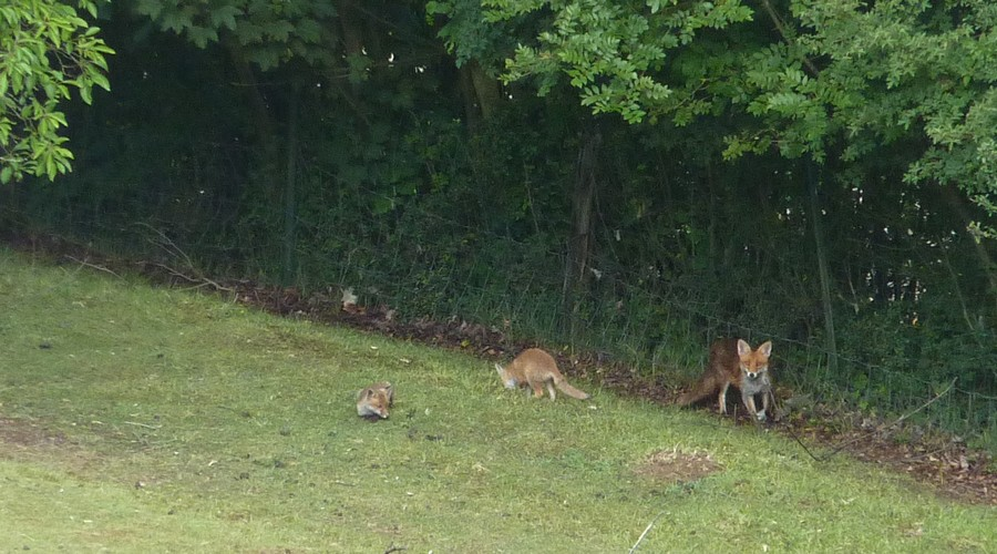 Visite d'une renarde et de ses 2 petits. E10