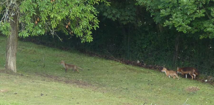 Visite d'une renarde et de ses 2 petits. F10