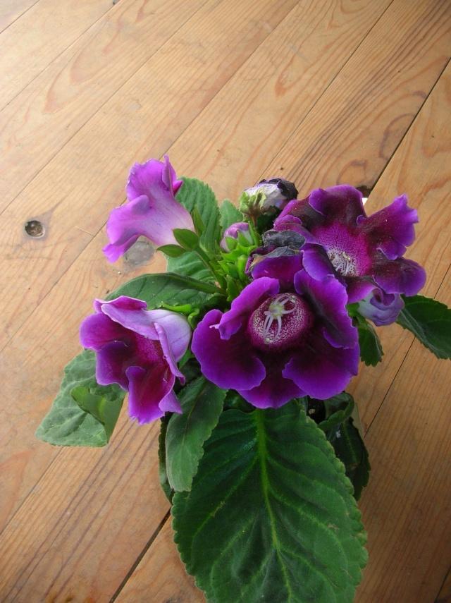 Sinningia speciosa ou Gloxinia des fleuristes Dscn2913