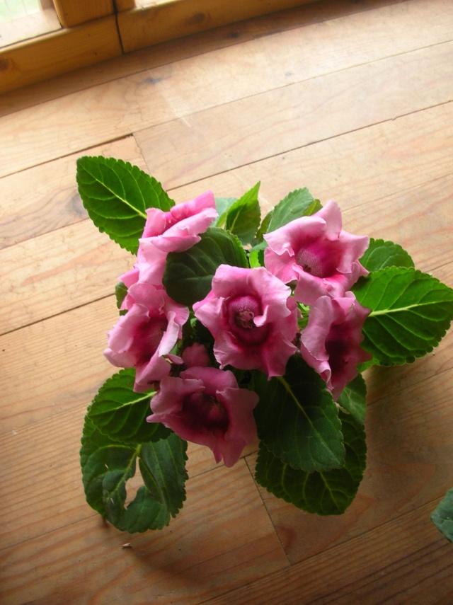 Sinningia speciosa ou Gloxinia des fleuristes Dscn2914