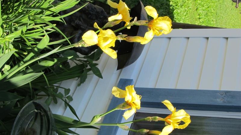 Iris germanica ( barbus ) jaune Img_0624