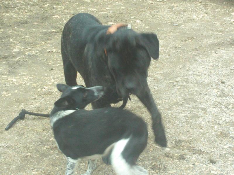 BURT (cane corso) File0619