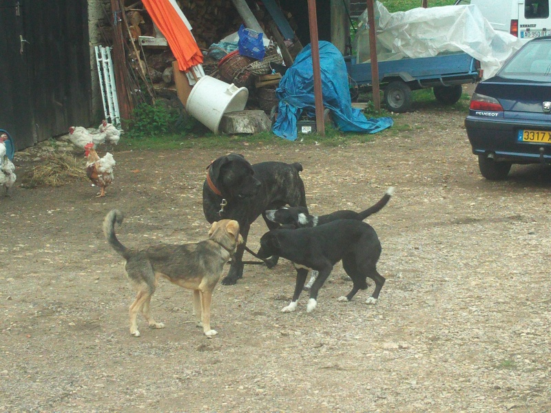 BURT (cane corso) File0621
